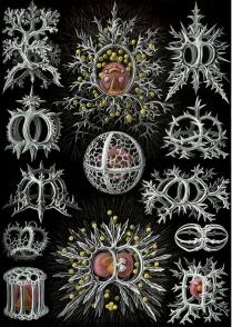 Haeckel's radiolarians no caption